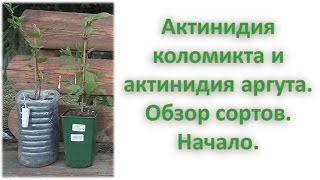 Актинидия коломикта/Актинидия аргута/Начало