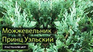 Можжевельник горизонтальный Принц Уэльский / Можжевельник посадка и уход / хвойные растения