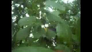 Слива венгерка. Prunus.