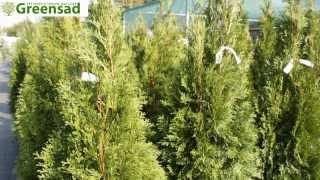 """Туя западная """"Smaragd"""" - видео-обзор от Greensad"""