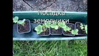Посадка клубники (земляники) сорт Гигантелла Максим