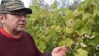 Демонстрация винограда сортов: Кодрянка, Агат донской, Плевен мускатный