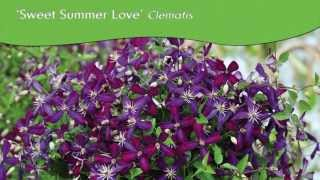 Proven Winners® Gardener Channel: Proven Winners® 'Sweet Summer Love' Clematis