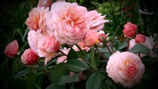 Героини Шекспира и английские розы