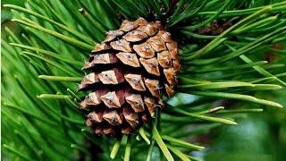 Сосна обыкновенная- (Pinus Sylvestris).