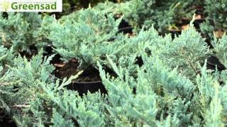 """Можжевельник горизонтальный """"Blue Chip"""" - видео-обзор от Greensad"""