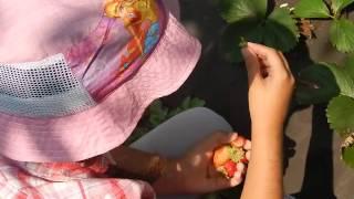 другий врожай клубники-полуниці САН-АНДРЕАС 26 липня(июля)2016р