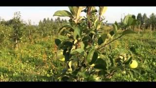 Яблоня сорт Конфетное Ранние летние сорта яблонь