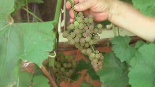 Виноград Платовский, винный виноград, белый виноград