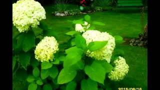 ✿➽ Гортензия древовидная Анабель в нашем саду
