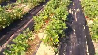 клубника альба первый сбор ягоды