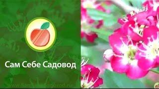 """Боярышник однопестичный """"Пуницея""""/Crataegus monogyna """"Punicea"""""""