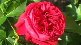 Роза Шекспир www.parostok.in.ua