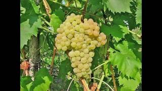 Виноград кишмиш 342 описание сорта фото