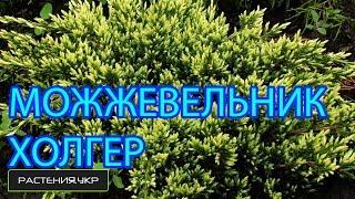 Можжевельник чешуйчатый Холгер / Можжевельник посадка и уход / хвойные растения