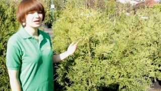 """Туя западная """"Brabant"""" - видео-обзор от Greensad"""