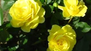 Цветы. Роза Фрезия
