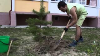 Как посадить дерево? Урок 1. Сосна обыкновенная