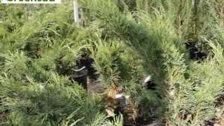 Можжевельник казацкий - видео-обзор от Greensad