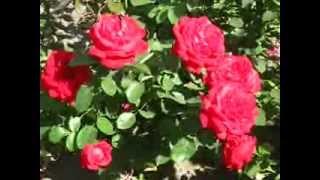 Цветы. Розы. Дам де Кер.