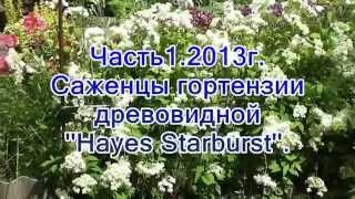 Часть1 2013г Саженцы гортензии древовидной ''Hayes Starburst''