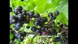 Турайский сад. Смородина сорт Сокровище