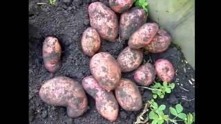 Отзыв о сортах картофеля Розара, Ред Скарлет, Беллароза, Аврора . Копка картофеля