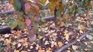 Осенняя пересадка яблонь - сорт