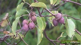 Kens Red - Erntereife Traubenkiwi an der Pflanze