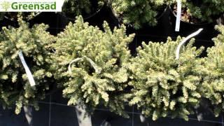 """Ель сербская """"Karel"""" - видео-обзор от Greensad"""