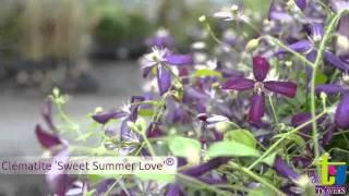 Clématite 'Sweet Summer Love'® - Pépinières TRAVERS - Spécialiste des plantes grimpantes