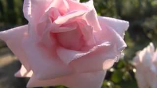 роза-интеллигентка