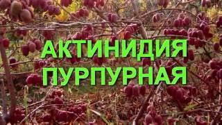 Растение Актинидия пурпурная (лат. Actinidia purpurea)