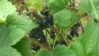 Селеченская 2 черная смородина.