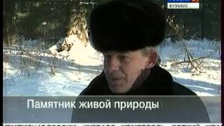 Сосна кедровая сибирская. Вести 24.