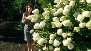 """Гортензии в саду. Гортензия метельчатая """"Grandiflora""""(обрезка и уход)."""