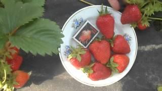 Итальянский сорт СИРИЯ с отличным качеством ягоды.