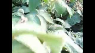 Турайский сад.Брянское диво