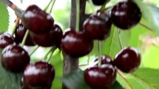 Чудовишня саженцы вишневые