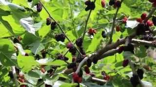 Шелковица - тутовое дерево (черная)