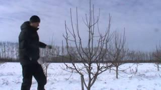Обрезка деревьев груши сорт Мраморная