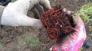 Можжевельник скальный Блю Эрроу. Juniperus scopulorum Blue Arrow. Посадка 2016.