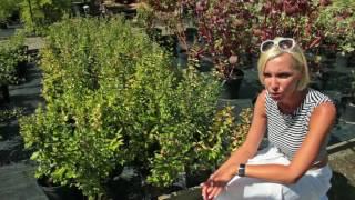 Живые изгороди: Кизильник блестящий (Cotoneaster Lucidus)