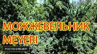 Можжевельник MEYERI посадка и уход / декоративные растения