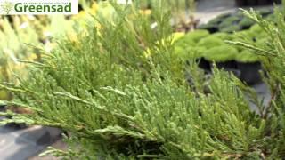 """Можжевельник горизонтальный """"Andorra Compact"""" - видео-обзор от Greensad"""