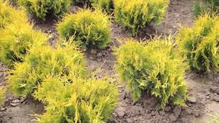 Туя западная. Thuja occ. 'Yellow Ribbon'