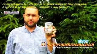 Купить мицелий на палочках. Как правильно посадить грибы вешенка королевская
