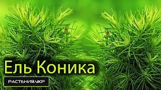 Канадская ель Коника / Ель посадка и уход / хвойные растения