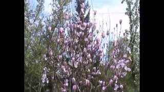 Магнолия Суланжа цветение