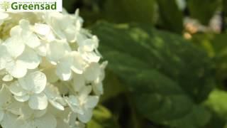 Гортензия Анабель - видео-обзор от Greensad - YouTube